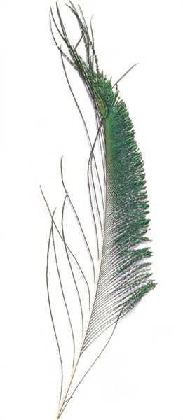 Bild på Peacock (Påfågel svärdfjäder)