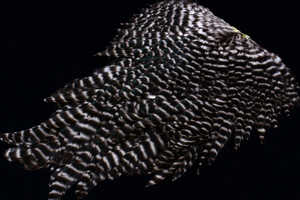 Bild på Signature Hen Saddle Natural Grizzly
