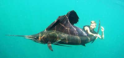 99 Sailfish på 7 dagar