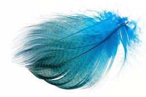 Bild på Selected Gadwall Barred Flank Peacock Blue